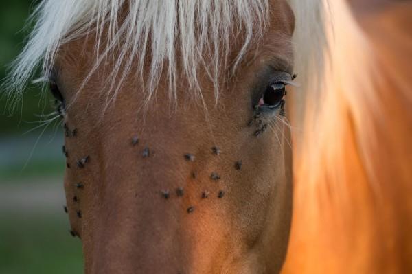 Pferd mit Insekten
